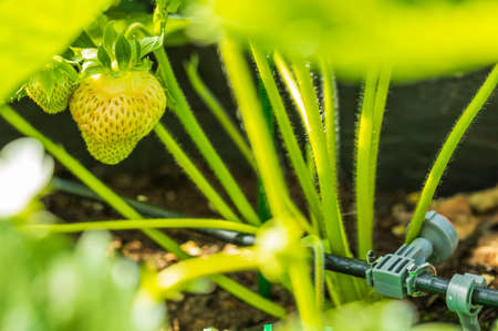 Close up macro view of Nice green strawberry on a twig. Summer gardening concept. Stok Fotoğraf