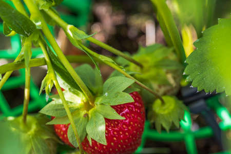 Close up macro view of cute red strawberry on a twig. Summer gardening concept.