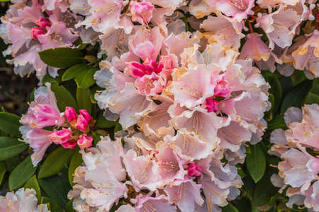 Macro view of blooming pink rhododendron. Beautiful nature backgrounds.