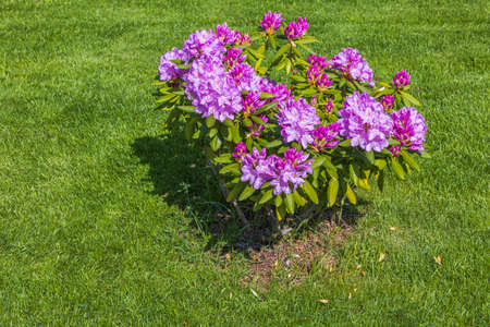 Beautiful view of blooming pink rhododendron flower. Gardening concept. Stok Fotoğraf