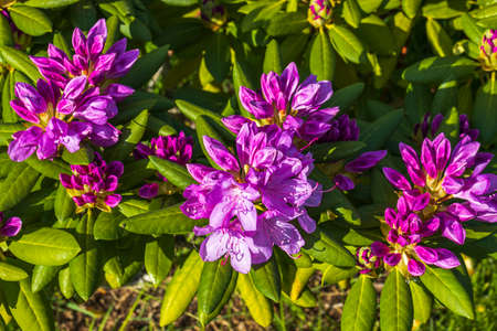 Ð¡lose up view of blooming rhododendron in summer. Beautiful nature backgrounds. Sweden.