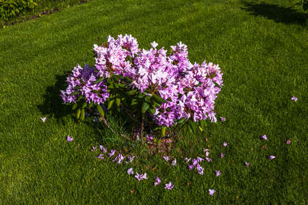 Beautiful view of faded rhododendron with falling flowers on green lawn background. Sweden.
