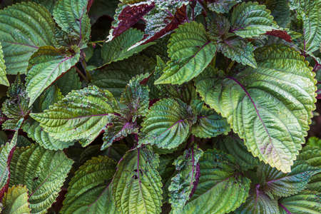 Close-up view of eye-catching green leaves with beautifully rich red underside Perilla Frutescens Briton Shiso for use in cooking. Sweden.