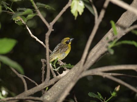 gelb: vogel Stock Photo