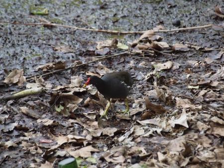 moorhen: Moorhen in foraging