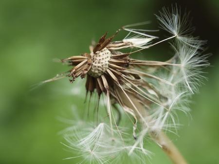 Löwenzahn