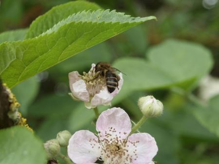 bl: Honigbiene Stock Photo