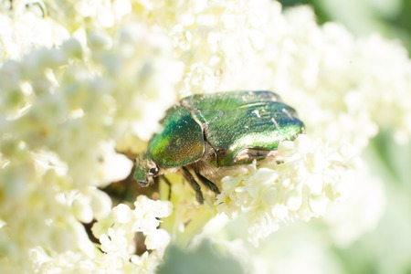 chitin: Chafer beetle on flowering plants of meadows
