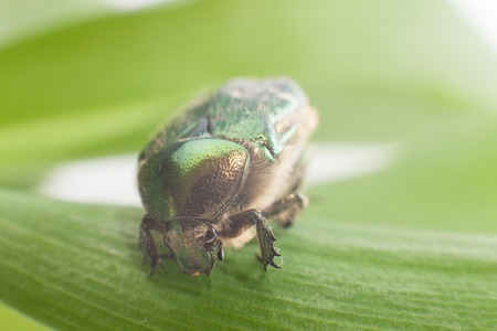 coleopter: A close up of the beetle chafer on leaf. Stock Photo