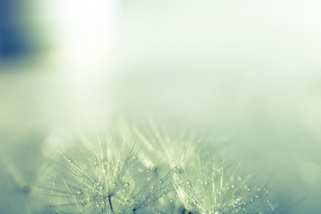 pappus: Dandelion seed with water drops