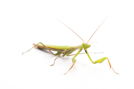 predatory insect: Praying Mantis on white background