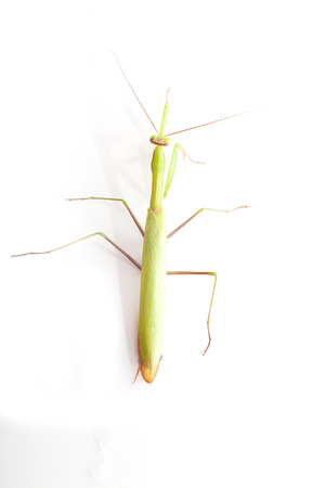 european mantis: European mantis