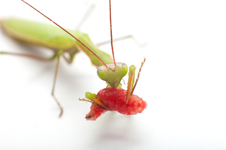foreleg: praying mantis eating