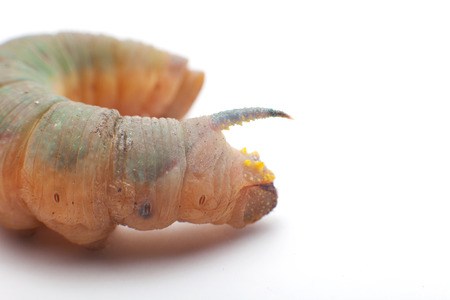 lepidopteran: deaths head hawkmoth caterpillar Stock Photo