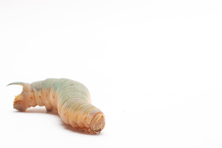 mimas: Hawk-moth caterpillar Stock Photo