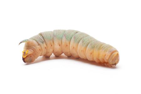 tiliae: Hawk-moth caterpillar Stock Photo