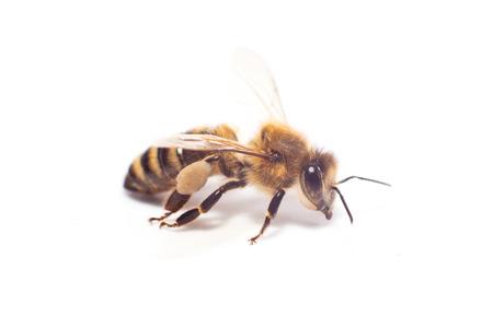 Isolated honeybee photo