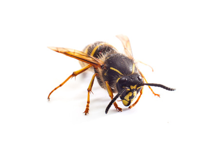 poisonous insect: wasp on white