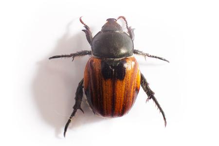 oryctes: beetle Stock Photo