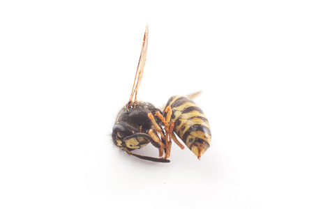 paper wasp: dead wasp