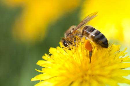 honeybee: Honeybee on Marigold