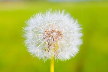 dandelion seed: Dandelion seed with water drops