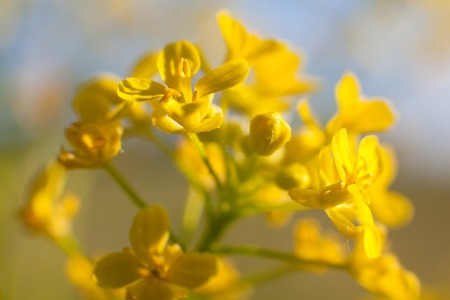 cowslip: Cowslip in bloom Stock Photo