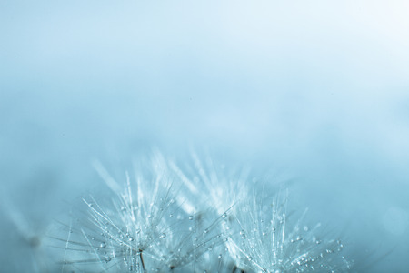 dandelion seed: Dandelion seed, shallow focus