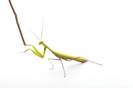 animal vein: Praying Mantis on white background