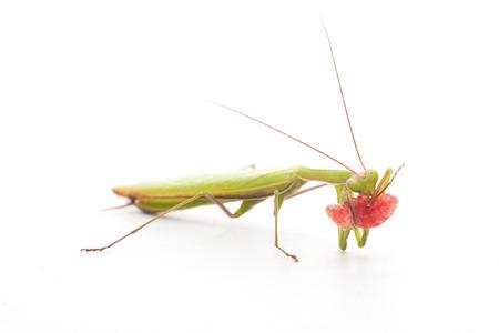 foreleg: praying mantis eating