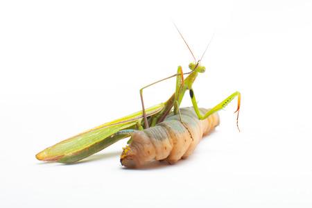 praying mantis eating photo