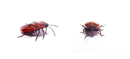 arthropods: red Beetle Stock Photo