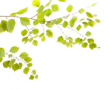 albero della vita: Birch ramoscello