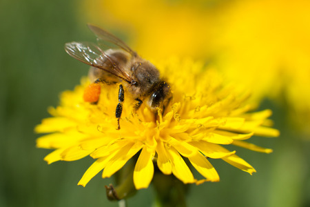 honeybee: Honeybee on Yellow Flower