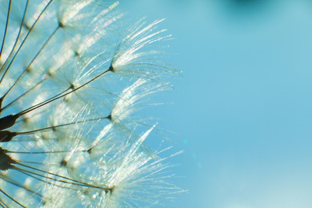 pappus: Dandelion and seeds in blue sky Stock Photo