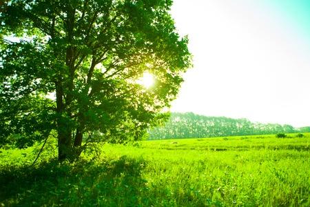 Green field and lonely tree Standard-Bild