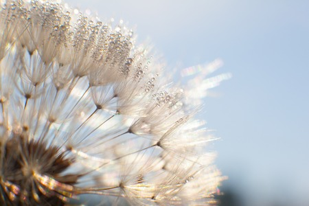 dandelion seed: Dandelion seed with water drops