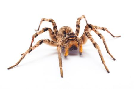 Araignée isolée sur fond blanc Banque d'images - 40136849