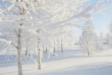 wintery day: Wintry landscape with snowy trees. Beautiful white winter. Blue sky.