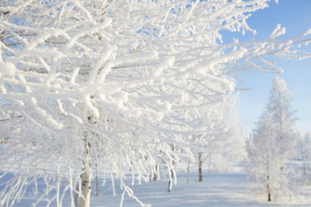 frozen trees: Frozen trees and branches . Beautiful white winter. Blue sky.