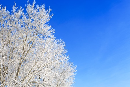 broaching: snowy trees before blue sky. Beautiful white winter. Stock Photo