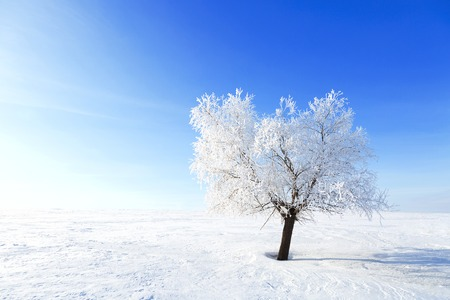 Alone Tree in the snow in a field in winter. Beautiful white winter. Blue sky.