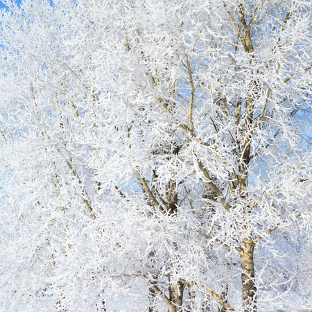hoarfrost: Frost on a Tree branches. Frosty winter day - snowy branch closeup.