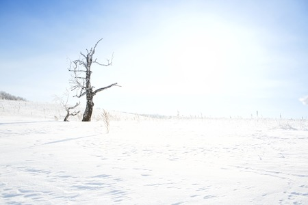 clear day in winter time: Dead tree on snow-covered field in a winter season