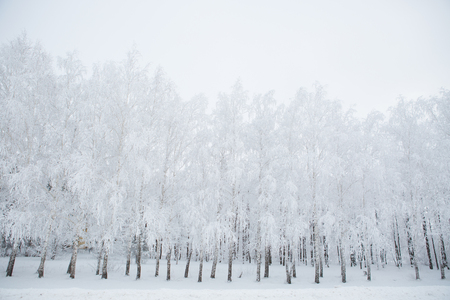 clear day in winter time: Birch trees in a snowy forest in black and white. Frosty winter day - snowy branch.