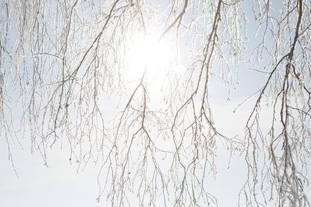white winter: Birch forest in winter. Snowy white winter.