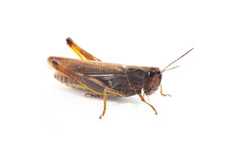 grasshopper: Grasshopper in front of white background