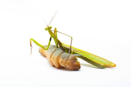 mimas: big green Mantis praying and eating Hawk-moth on white Stock Photo