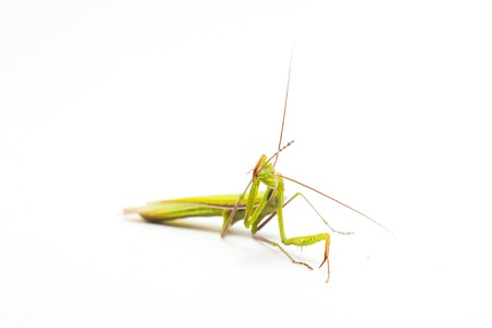 european mantis: big green Mantis on white background