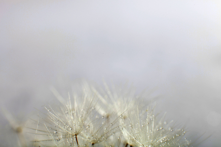 fragile peace: Macro Dandelion seeds. Dandelion seed with water drops. Stock Photo